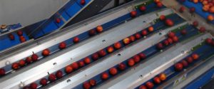 fruit sorting equipments