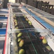 Mango grading machine