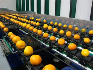 Fruit sorting grading machine