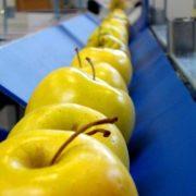 Máquina clasificadora de prealineación de manzanas