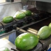 Mango sorting equipments