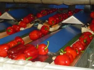 Peppers grading line