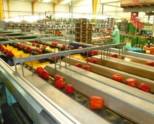 Peppers sorting line