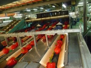Peppers sorting machine