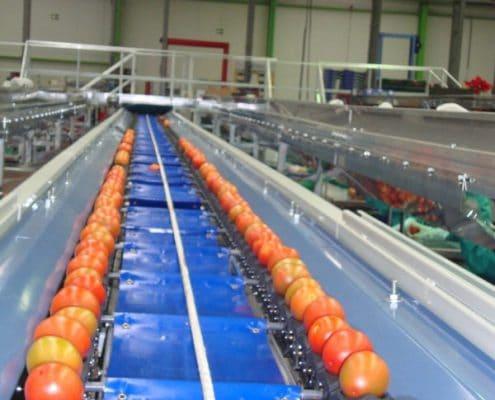 Tomato grading line