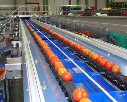 Tomato sorting line